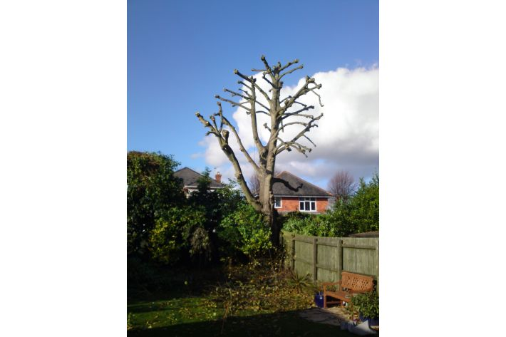 Pollarding of a Lime tree in Bournemouth