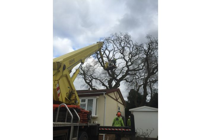 Reduction of an oak tree Verwood