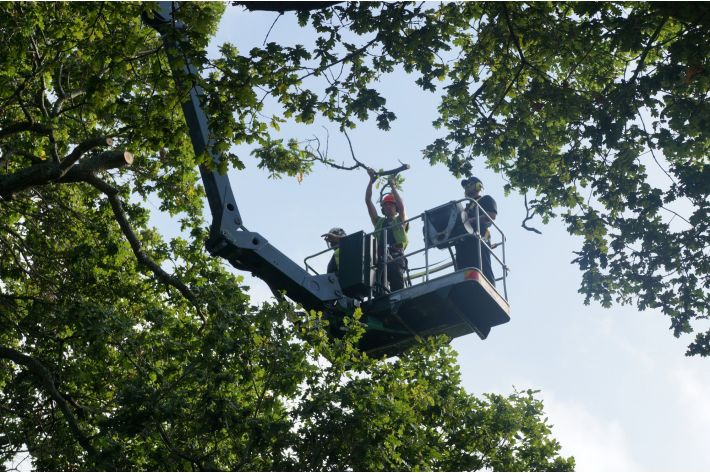Crown reduction of veteran Oak by MEWP (mobile elevated work platform), Verwood