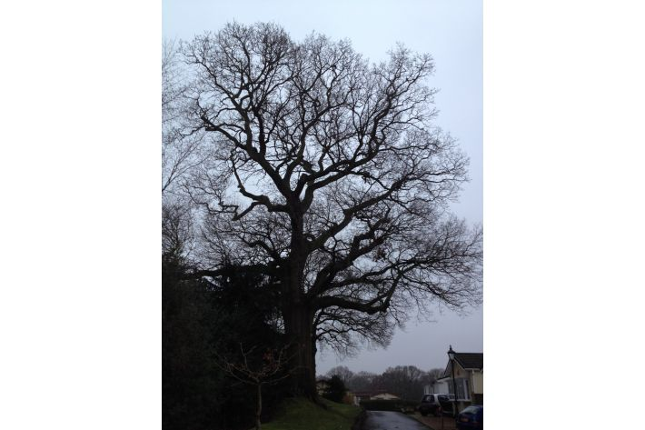 Veteran Oak reduction, Verwood