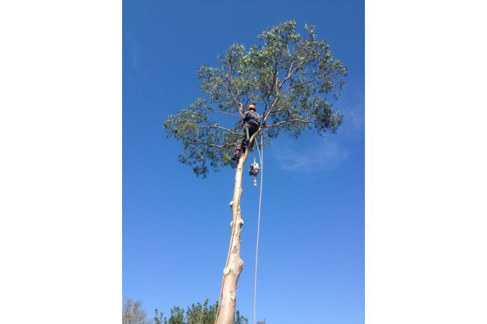 Sectional felling a tree in Christchurch